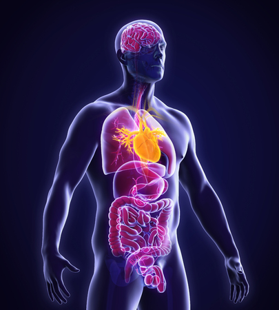 Human Heart Anatomy Stock Photo - 46776579