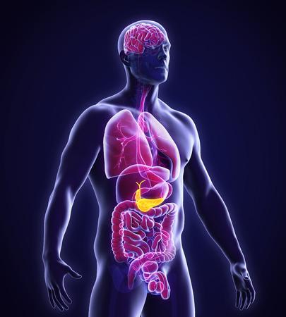 anatomia humana: La vesícula biliar y páncreas Anatomía Humana Foto de archivo