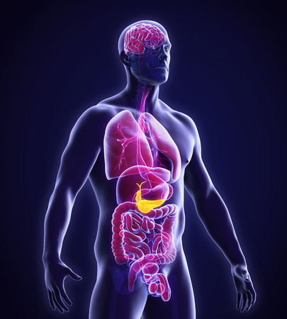 trzustka: Pęcherzyka żółciowego i trzustki Anatomia ludzkie
