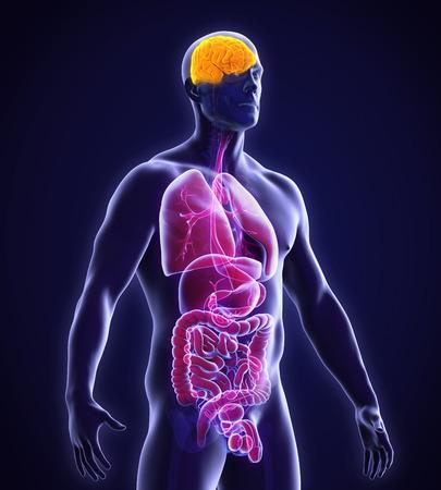 human bones: Anatomía del cerebro humano Foto de archivo