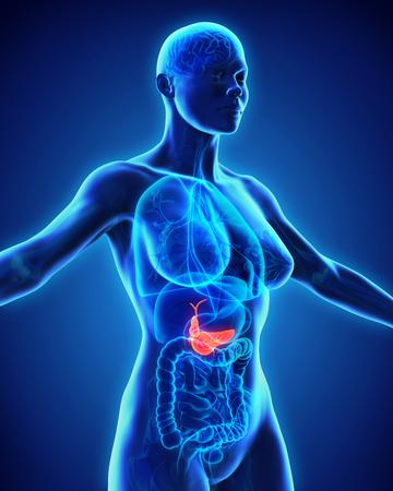 gallbladder: Human Gallbladder and Pancreas Anatomy