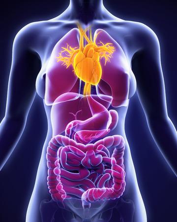 human heart: Anatomía del corazón humano