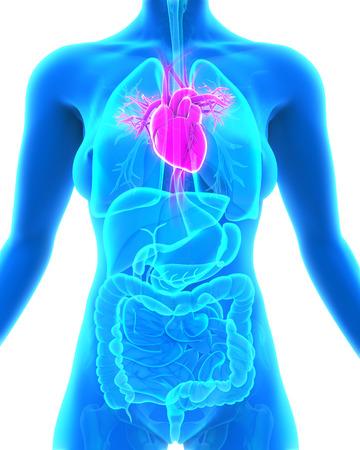coronary: Human Heart Anatomy