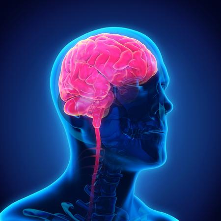 cerebro humano: Anatomía del cerebro humano Foto de archivo