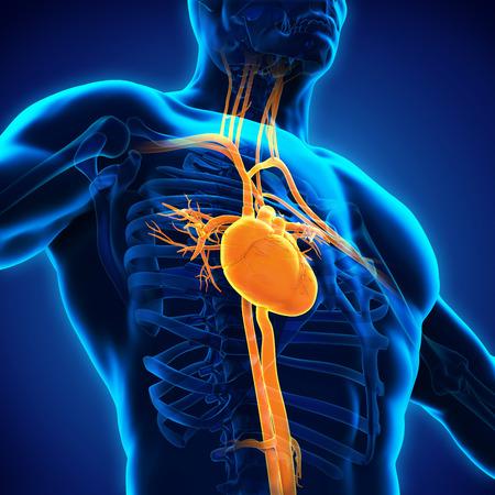 corazones azules: Anatomía del corazón humano