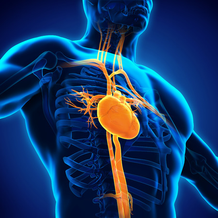 Human Heart Anatomy Stock Photo - 49161654