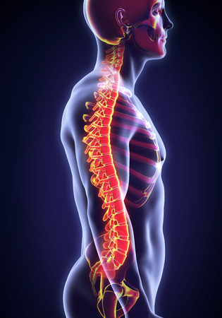 intervertebral: Human Male Spine Anatomy Stock Photo