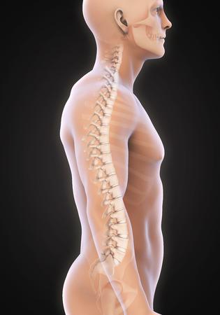 strong skeleton: Human Male Spine Anatomy Stock Photo