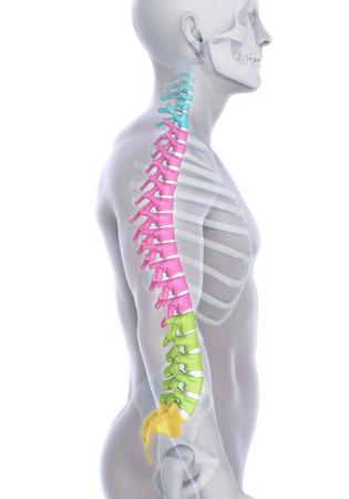 Human Male Spine Anatomy 写真素材
