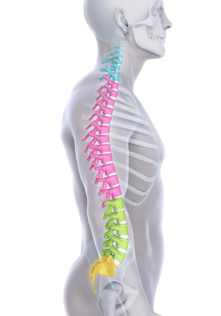 lumbar: Human Male Spine Anatomy Stock Photo