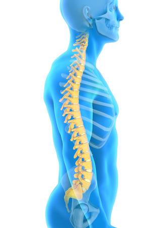인간 남성 척추 해부학 스톡 콘텐츠