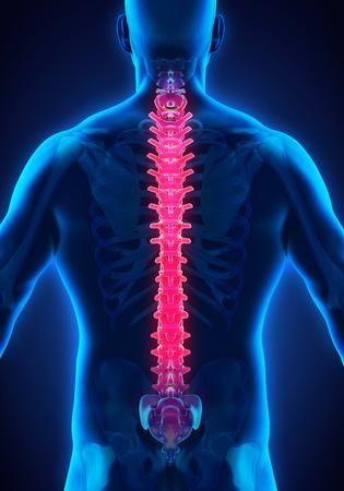 coccyx pain: Human Male Spine Anatomy Stock Photo