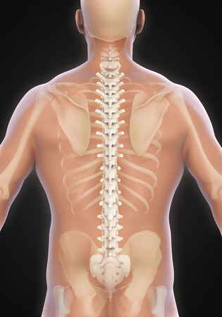 scoliosis: Human Male Spine Anatomy Stock Photo
