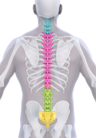 chiropractic: Human Male Spine Anatomy Stock Photo