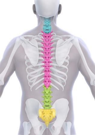 skeleton man: Menschliche Männliche Anatomie der Wirbelsäule Lizenzfreie Bilder