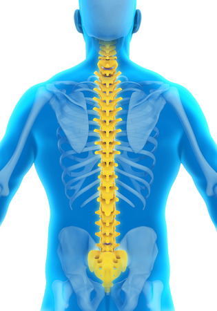 intervertebral disc: Human Male Spine Anatomy Stock Photo