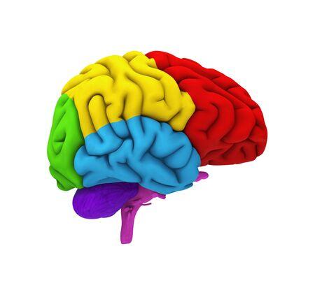 occipital: Human Brain Anatomy