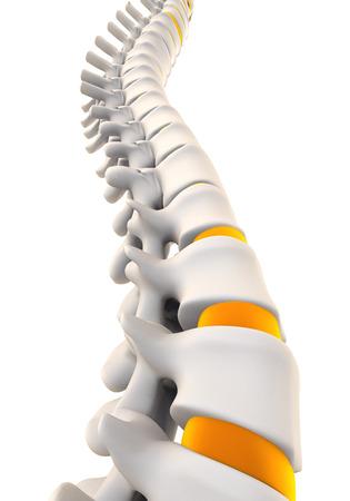 huesos humanos: Anatomía Columna vertebral humana Foto de archivo