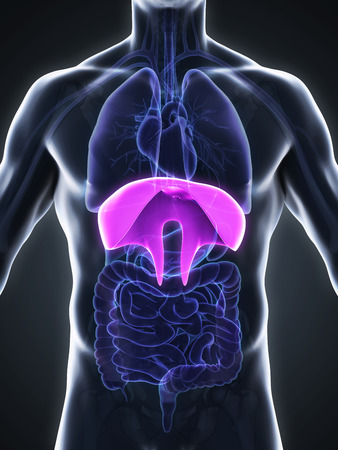 inhale: Human Diaphragm Anatomy Stock Photo