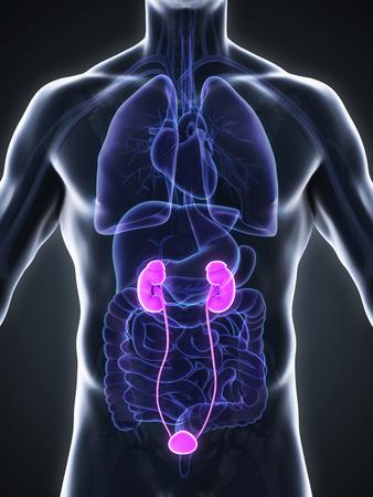 urogenital: Human Kidneys Anatomy