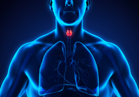 hypothyroidism: Human Thyroid Gland Anatomy