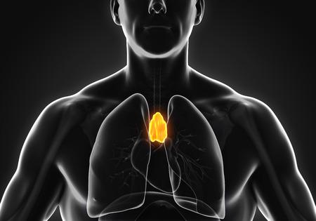 medulla: Human Thymus Anatomy
