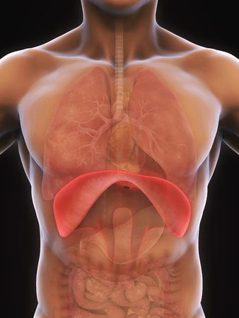 diaphragm: Human Diaphragm Anatomy Stock Photo