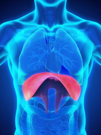 exhalation: Human Diaphragm Anatomy Stock Photo
