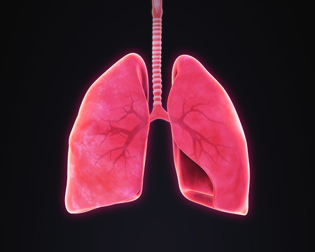 chest cavity: Lungs and Bronchi Anatomy Stock Photo