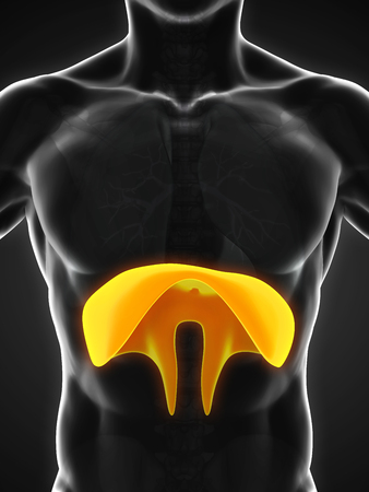 chest cavity: Human Diaphragm Anatomy Stock Photo