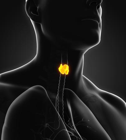thyroid cancer: Human Thyroid Gland Anatomy