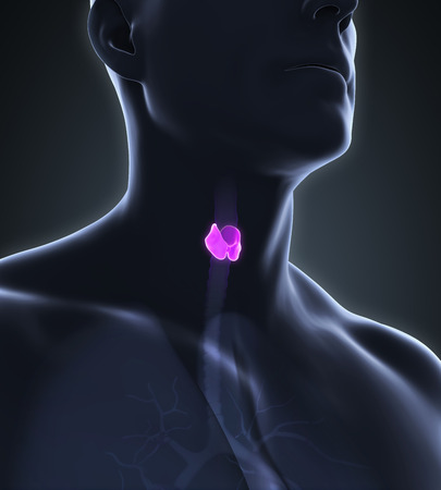 parathyroid: Human Thyroid Gland Anatomy