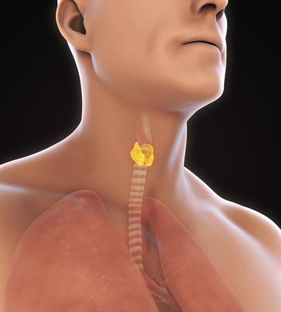 hormone  male: Human Thyroid Gland Anatomy