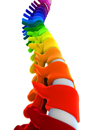coccyx: Colorful Human Spine Anatomy