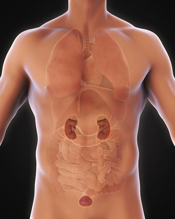 prostate gland: Human Kidneys Anatomy