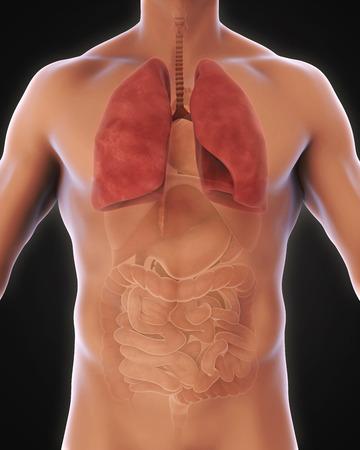 bronchiole: Human Respiratory System Stock Photo