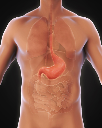 stomach: Human Stomach Anatomy Stock Photo