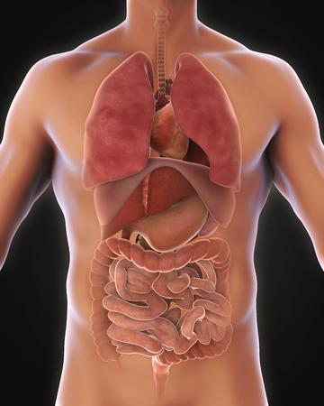 appendix ileum: Anterior View of Human Body