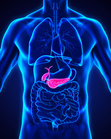pancreas: Human Gallbladder and Pancreas Anatomy