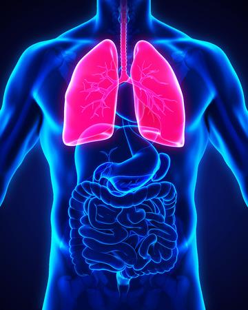 bronchitis: Human Respiratory System Stock Photo