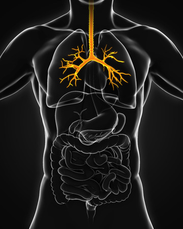 emphysema: Human Bronchus Anatomy Stock Photo