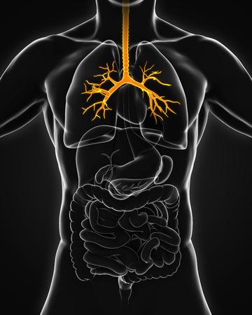 bronchiole: Human Bronchus Anatomy Stock Photo