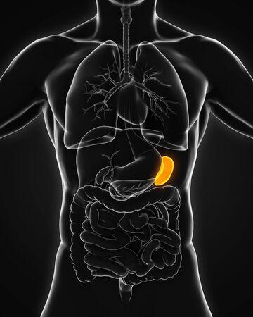visceral: Human Spleen Anatomy