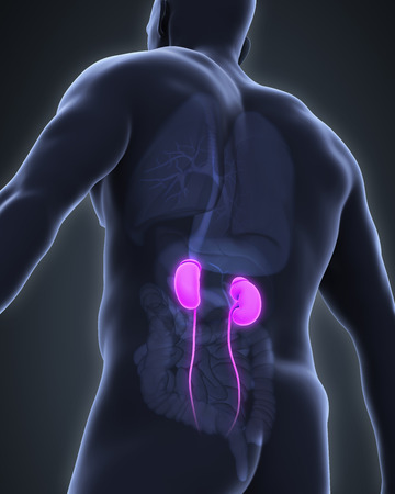 epididymis: Human Kidneys Anatomy