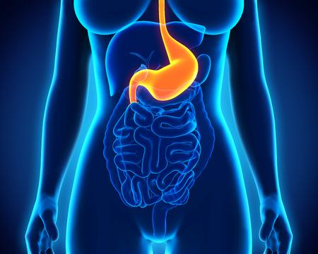 gastroparesis: Human Stomach Anatomy Stock Photo