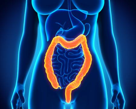 rectum cancer: Human Colon Anatomy