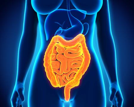 rectum cancer: Human Intestine Anatomy