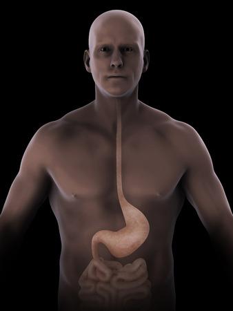 esofago: Anatomía estómago humano