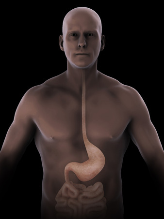 Human Stomach Anatomy Stock Photo