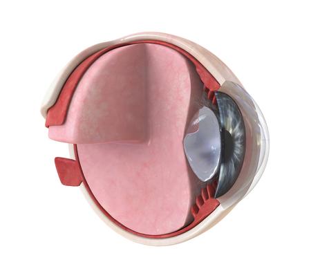 Human Eye Anatomy Isolated